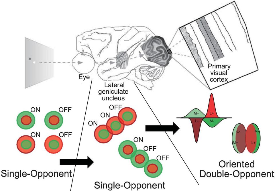 Single-Opponent M+ L- Primary visual cortex