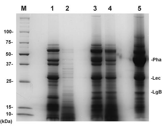 Fig.2 Protein composition (left) and micrograph (right) of cooked common bean pastes Lane 1, whole bean paste without enzymatic treatment; lane 2, whole bean paste digested with crude amylase; lane