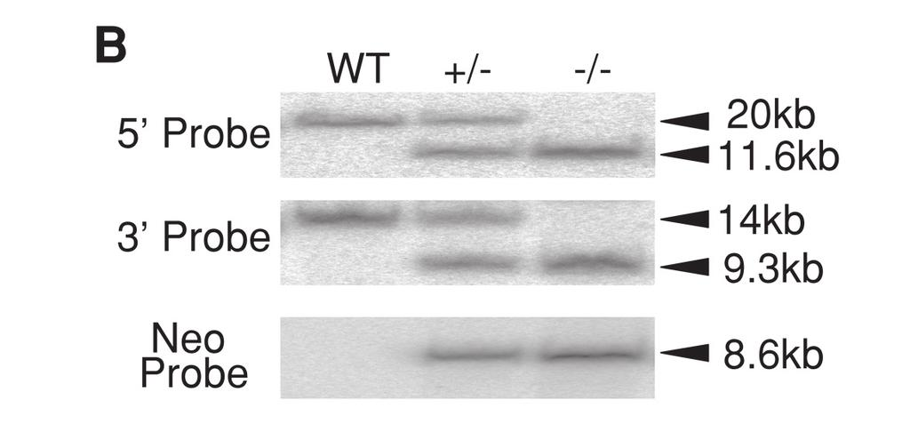 Restriction enzymes indicated were as follows: RI; EcoRI, Hd; HindIII, Sh; SphI, Sp; SpeI, RV; EcoRV. B, Southern blot hybridization analyses for genotyping of mice.